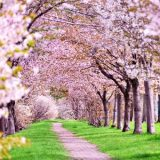 桜 香り 効果