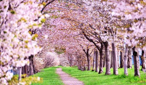 高遠の桜2018!駐車場情報と混雑や渋滞回避のルート、満開の見頃は?