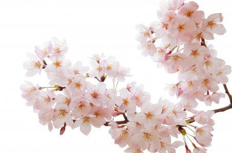 桜の香りの効果!香水やハンドクリームやアロマの成分の効果がスゴい!