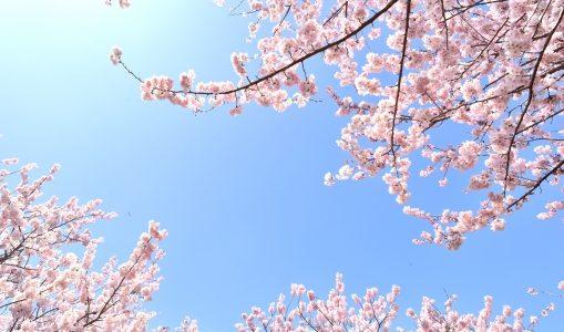 日本人が桜を特別に好きな理由3つ!国民性や精神性、日本文化の影響?