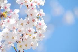 秋なのに桜が咲いたのはなぜ?季節外れの開花で2019年春に影響は?開花場所も!
