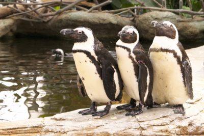 ケープペンギン 日本 飼育