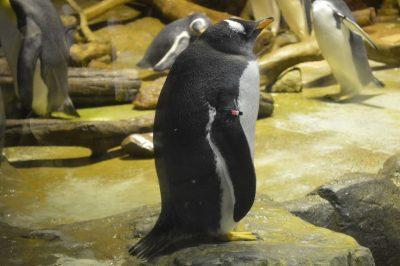 ジェンツーペンギン ヒナ 性格