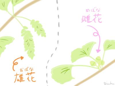 イチョウ 花