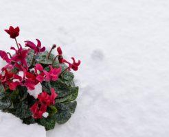 シクラメン 開花時期 季節 冬 雪