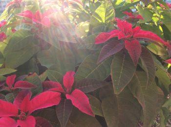 ポインセチア 時期 季節 クリスマス