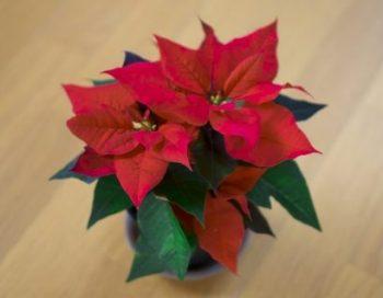 ポインセチア 時期 季節 クリスマス 鉢植え