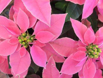 ポインセチア 時期 季節 花言葉