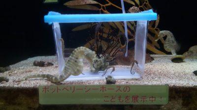 須磨海浜水族園 神戸 水族館 ポットベリーシーホース