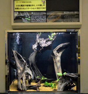 須磨海浜水族園 神戸 水族館 ブラックゴースト