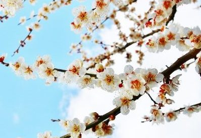 梅 時期 花 花びら