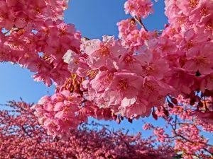 早咲き桜 河津桜