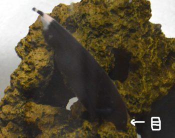 ブラックゴースト 飼育 混泳 餌