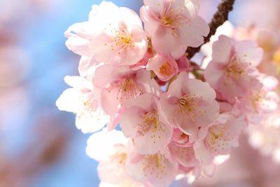 あたみ桜 早咲き桜 早く咲く 種類