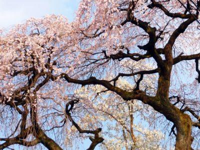 彼岸桜 早咲き桜 早く咲く 種類