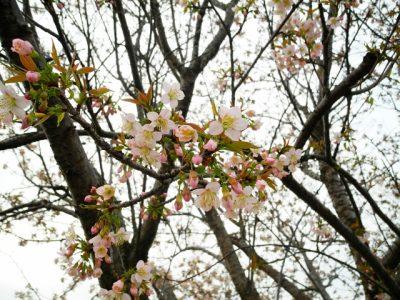ヒマラヤサクラ 早咲き桜 早く咲く 種類