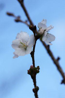 冬桜 早咲き桜 早く咲く 種類