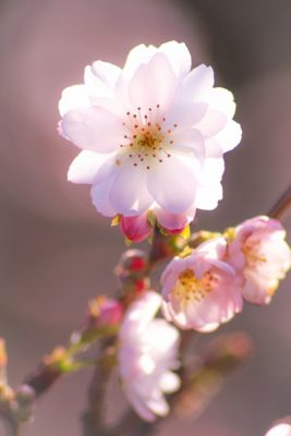 十月桜 早咲き桜 早く咲く 種類