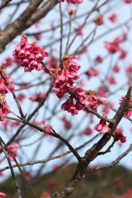寒緋桜 早咲き桜 早く咲く 種類