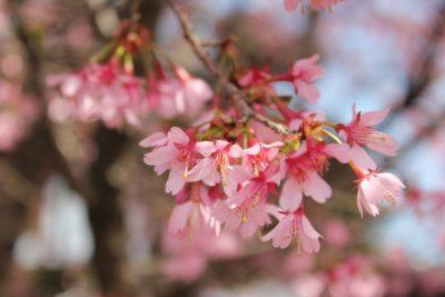 おかめ桜 早咲き桜 早く咲く 種類