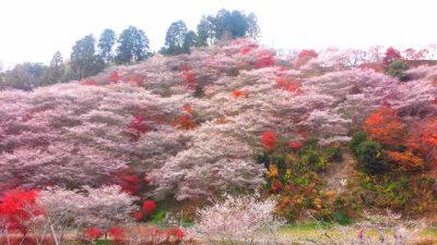 四季桜 早咲き桜 早く咲く 種類