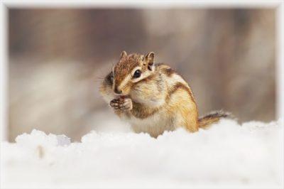 なつく 小動物 ペット シマリス