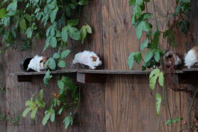 なつく 小動物 ペット モルモット