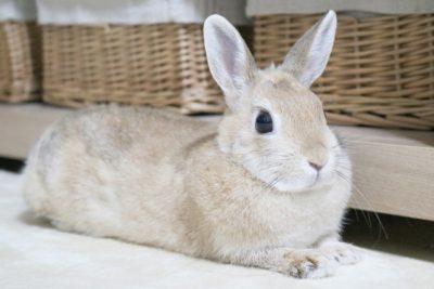 なつく 小動物 ペット ウサギ