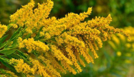 花粉症の原因になる植物の花言葉が怖すぎる!スギやヒノキやブタクサの呪い?